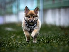 Hunde - Felli Photography - Vicky Fellinger Online Galerie, Dog Photography, Husky, Victoria, Dogs, Animals, Photo Shoot, Animales, Animaux