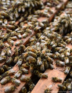 According to researchers at the University of Maryland and the USDA, chemicals used on agricultural crops can impair bees' ability to fight off parasites. Photo by Rachael Brugger (HobbyFarms.com)