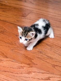 Persian kittens for sale in appleton wi