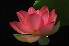 red Lotus Flower Close Up | Recent Photos The Commons Getty Collection Galleries World Map App ...