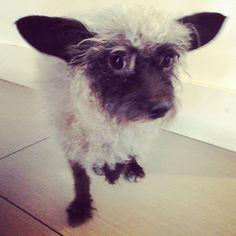ピットブルと一緒に歩いていた子羊みたいな迷子犬 in ロサンゼルス・サンフェルナンド・バレー