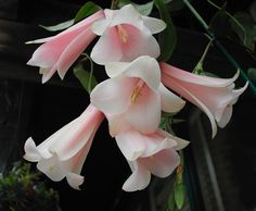 Chilean Bellflower, Lapageria rosea - Pink Blush - this beautiful long lasting flower was rightfully chosen as the national flower of Chile