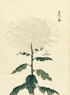 Artist Keika Hasegawa translated the graceful beauty of the flowers to the page in One Hundred Chrysanthemums, printed in 1893.