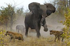 mamãe elefante defendendo seu filhote das hienas