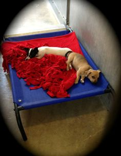 Lancaster, CA - A4605170 (left), a 2 month old female Chihuahua, A4605168 (right), a 2month old male Chihuahua. Came in 7/12 as strays, avail. 7/16. https://www.facebook.com/photo.php?fbid=10151775005647318=a.10151770778532318.1073741853.733107317=1