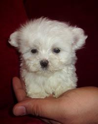 Teacup Maltese - what a little doll Tiny Puppies, Teacup Puppies, Cute Puppies, Cute Dogs, Animals And Pets, Baby Animals, Cute Animals, Dog Pictures, Animal Pictures