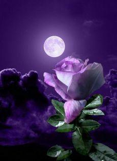 By Artist Unknown. Beautiful Moon, Beautiful Roses, Purple Flowers, Beautiful Flowers, Moon Pictures, Nature Pictures, Beautiful Pictures, Sky Moon, Moon Art