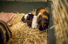 One day old guinea pigs with their mum, Fredzia
