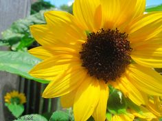 Sunny Sunflower by MorningsInManteo on Etsy