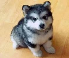 People oftentimes want something that can suit in their family a pet that could become a perfect indoor companion and there is one breed that is capable and its name is miniature husky. Teacup Pomeranian Husky, Pomsky Puppies, Cute Puppies, Cute Dogs, Dogs And Puppies, Teacup Puppies, Husky Mix, Cute Husky, Husky Puppy