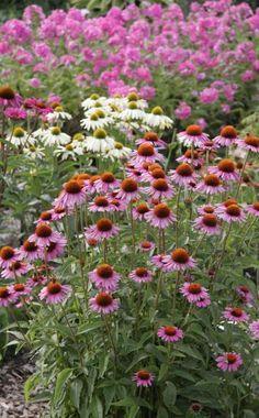 Bauerngarten: Anlegen, Gestalten und Bepflanzen | Sonnenhut ...