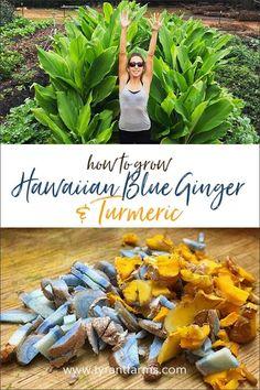 How to Grow Hawaiian Blue Ginger and Turmeric - Anywhere! How to Grow Hawaiian Blue Ginger and Turmeric - Anywhere! Grow Turmeric, Turmeric Plant, Ginger Plant, Organic Turmeric, Hawaiian Plants, Blue Hawaiian, Growing Ginger, Growing Herbs, Edible Plants