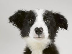 Border Collie--couldn't resist that face