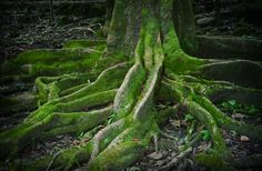 Deep roots.. great old mossy tree nature photograph by leaping gazelle.
