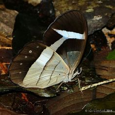 White-barred Lady Slipper (Pierella hortona)