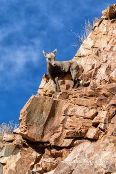 A Bighorn Sheep lamb enjoys the view from its perch high on the side of a cliff. (© Tony's Takes)