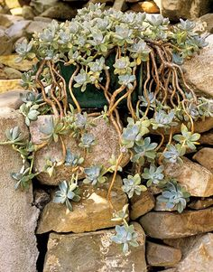 for the corner of the bed. A potted sedum spends three seasons outdoors on a sunny rock wall, which the owners spent several long days excavating from the garden ground area to replace with humus-enriched topsoil.   - CountryLiving.com