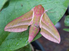 Elephant Hawk Moth - Deilephila elpenor   Flickr - Photo Sharing!