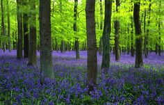 Nothing prettier than a forest covered with bluebells :)