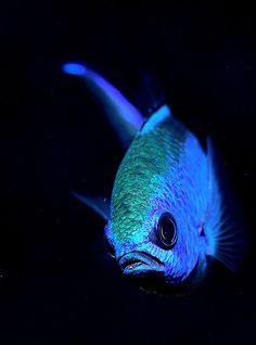 bluefish-