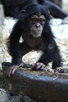Chimpanzee Baby by Josef Gelernter