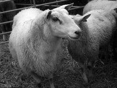 Cute Sheep:)