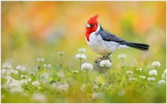 Red Headed Bird Wallpaper   red headed bird wallpaper 1080p, red headed bird wallpaper desktop, red headed bird wallpaper hd, red headed bird wallpaper iphone