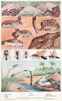 """Ants, from The Home and School Reference Work"""" Volume I Science Art, Science For Kids, Science And Nature, Ant Colony, Animal Projects, Art Projects, Ants, Habitats, Illustration"""