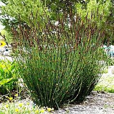 Chondropetalum elephantinum (Fynbos) - Evergreen- Full to part sun-drought tolerant. Family of Restios