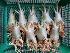 Adéniums - They look like little people!