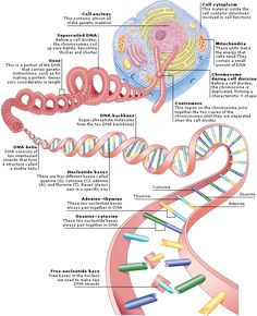 Genes are made up of DNA, which is shaped like a twisted ladder with rungs made of molecules called nucleotide bases linked in specific pairs. The arrangement of bases along the DNA provides the cell with instructions on making proteins and other molecules that control cellular processes. Medical Encyclopedia - Structure: Structure of Genetic Material - Aviva Biochemistry, Anatomy And Physiology, Biology Facts, Biology Poster, Cell Biology, Ap Biology, Science Biology, Life Science, Science Lessons