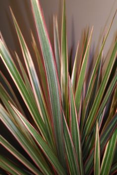 Stunning swaths of red, yellow, green shoot out like fireworks from the crown of this Dracaena marginata bicolor. Save & share! #dracaena #houseplants #bicolor