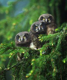 Owls in a fir tree