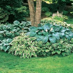 38 Amazingly Green Front-yard & Backyard Landscaping Ideas Get Basic Engineering, Home Design & Home Decor. Amazingly Green Front-yard & Backyard Landscaping Ideasf you're anything like us, y Plantain Lily, Plants, Garden, Front Yard Landscaping, Shade Garden, Lawn And Garden, Backyard Garden, Outdoor Gardens, Backyard