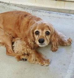 Sad, surrendered, mellow cocker spaniel waits for owner's return at busy shelter