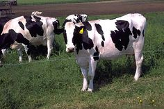 Cattle Herd Not Killed By GMO Grass; Deaths Still A Mystery ... #pets #animals ... PetsLady.com