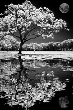 Moon Flowering Tree Reflection In Water Black White Photography