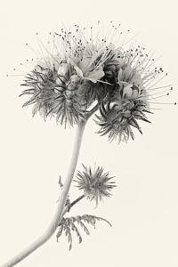 Phacelia tanacetifolia by Jacky Parker