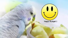 5 Essential tips for Keeping a Budgie Happy Budgie Parakeet, Budgies, Pet Bird Cage, Love Your Pet, Parrot, Essentials, Pets, Happy, Hard Work