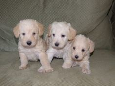 apricot scnoodle puppies http://www.uptowndogs.com/pages/home.htm