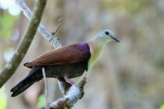 2611. Wetar Ground Dove (Alopecoenas hoedtii) | found on Wetar, Indonesia and Timor in monsoon forests and gallery forests, and possibly woodland and bamboos