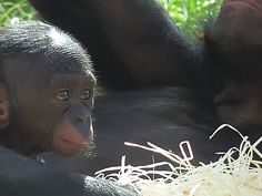 The Pygmy Chimpanzee, called the Bonobo at England's Twycross Zoo, enjoying a sunny afternoon in its mother's arms.
