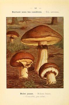 PL 48 - img/planches-dessins champignons/suillus luteus ex boletus luteus - bolet jaune - comestible mediocre.jpg