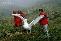 Scientists Measuring Albatross Wing Span - WK023355 - Rights ...