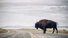 Bison Crossing by Nelson Vargas Photography, via Flickr