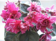 Бляха-Муха (Макуни).   Темно-розово-красные полумахровые цветы несколько вычурной формы с серебристыми «мраморными» разводами. Темно-зеленые гладкие листья «лодочкой». Аккуратая небольшая розетка. Очень обильное цветение.