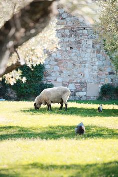 This is a Sussex sheep, we had a huge ram to show up in our back pasture, no clue where he came from been here going on 3yrs now.