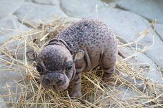 pygmy hippopotamus By Tsybina Natali - pygmy hippopotamus It runs on the skeleton and steel wire frame. Cute Hippo, Baby Hippo, Cute Baby Animals, Animals And Pets, Animal Spirit Guides, Spirit Animal, Animal Pictures, Cute Pictures, Animal Babies