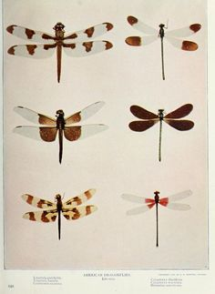 American Dragonflies, from Nature Neighbors, 1914.