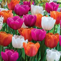 Shop hundreds of tulips for sale for fall planting. Breck's offers the best tulip bulb selection. Shop purple tulips, red tulips, yellow tulips, parrot tulips, darwinhybrid tulips and many more. Bulb Flowers, Tulips Flowers, Spring Flowers, Planting Flowers, Tulips For Sale, Tulip Bulbs For Sale, Spring Flowering Bulbs, Spring Bulbs, Dutch Tulip